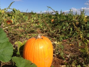 Orchard Pumpkin