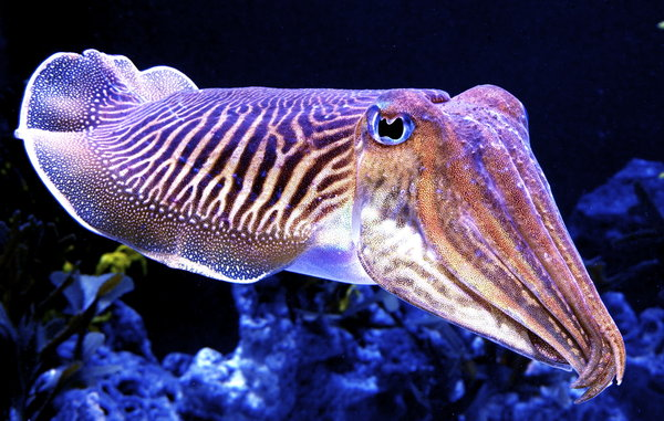 http://weekendreviewkit.com/wp-content/uploads/2015/01/Cuddly_Cuttlefish_by_zhe_universe.jpg